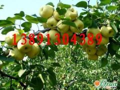 陜西酥梨基地價格\貢梨批發\套袋酥梨產地\紅香酥梨價格銷售