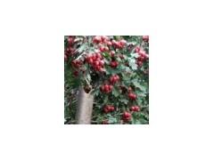 供應山楂樹、綠化山楂樹、苗圃山楂樹、8公分山楂樹