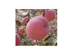 供应山西红富士苹果、优质苹果产业基地