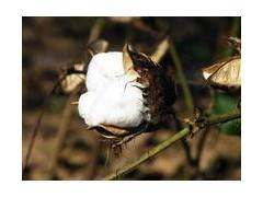 大型采棉機價格 棉花采摘機視頻 棉花收獲機 棉花收割機