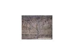 供應李子樹、8公分李子樹、杏樹、核桃樹、山西春秋苗圃