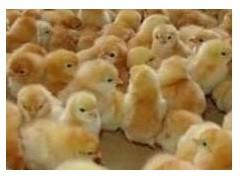 优质380鸡苗哪里有? 泰安马家村红玉鸡苗孵化厂