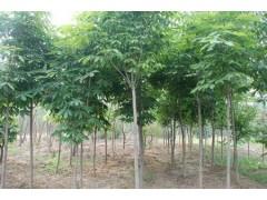 供應3-12公分七葉樹、水杉、農業信息、中國商機網
