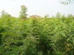 供應黃連木小苗、二年黃連木小苗、3公分黃連木苗