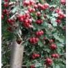 供应3-9公分山楂树、厂家山楂树、低价山楂树