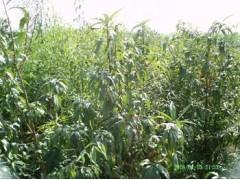 供應毛桃苗、0.5公分毛桃苗、二年毛桃苗、銷售毛桃苗