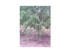 供應山桃樹、綠化山桃樹、叢生山桃樹、8公分山桃樹