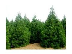 供應1-5米塔柏、白皮松、華山松、油松、山西春秋苗圃