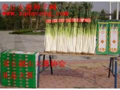 山東大蔥種 第一品牌高產新品種大蔥 家祿三號 章丘大蔥種子