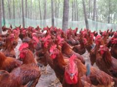 山东红羽鸡苗孵化养殖场优惠供应优质红羽公鸡苗