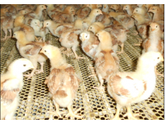 山东红羽鸡苗孵化厂优惠供应优质宁阳红羽公鸡苗