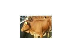 山西西門塔爾牛價格
