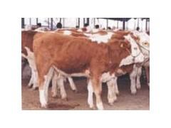 山西养牛基地公牛犊价格