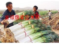 日本大蔥種子 第一高產新品種井岡一本 日本鐵桿鋼蔥大蔥種子