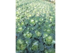 冬季草花品种 羽衣甘蓝批发 耐寒的绿化草花