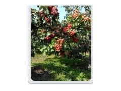 供应核桃树, 苹果树,桃树,山楂树,杏树,樱桃树