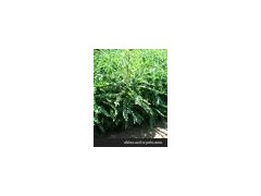 供应皂角苗,药用皂角苗,皂角树,大皂角苗