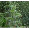 供应核桃苗,枣树苗,李子苗,柿子苗,樱桃苗,葡萄苗,苹果苗