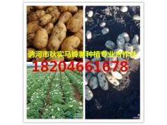 供應黑龍江新土豆