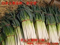 天光一本日本大蔥種子高產新品種井岡F1 長寶晚抽日本大蔥種子