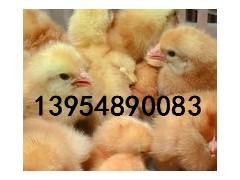 销售优质山东九斤红公鸡苗