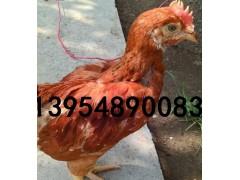 380鸡苗/泰安380鸡苗优惠供应