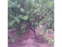 供应山桃树,山杏树,柿子树,李子树,樱桃树,石榴树,葡萄树