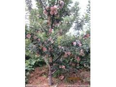 供应苹果苗,苹果树,嫁接的苹果苗,矮化苹果苗