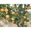 供应梨树苗,梨树,嫁接的梨树苗