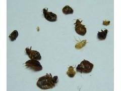 臭蟲怎么殺,專業殺臭蟲,殺臭蟲公司