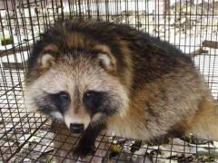 如何判断狐狸是否判病