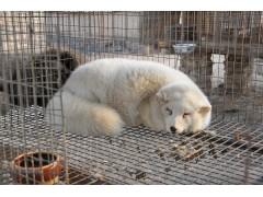 山東狐貍養殖場地有哪些要求
