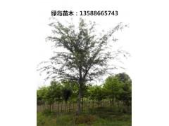 樸樹供應 全冠樸樹 10-50公分浙江樸樹價格行情