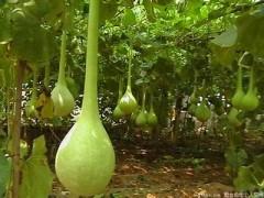觀賞葫蘆種子 長柄葫蘆種子