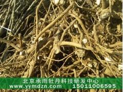 觀賞牡丹和油用牡丹種植技術免費指導