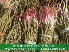 北京承雨牡丹育苗基地廠價直銷觀賞牡丹種苗