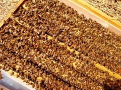 鹽城西瓜授粉蜜蜂 藍莓授粉蜜蜂