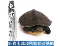 石金錢龜龜苗的飼養方法石金錢龜出售