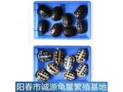 沙朗鎮南石種龜價格