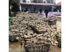 珍湖蓮藕種苗批發 北京蓮藕種植基地 湖北優質藕種出售