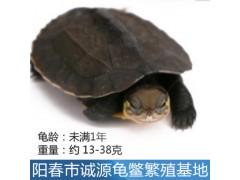 锡林郭勒南石种龟价格