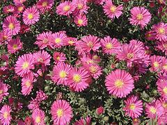LOOK!荷蘭菊價格【便宜】荷蘭菊培育基地【杰浩】
