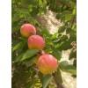 陕西丰园红杏产地价格,丰原红杏批发价格