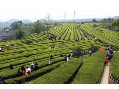 淘三峽|特級明前茶|2016年新茶御園禪茶文化體驗園度假品茶
