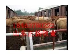 濟寧魯西黃牛的繁殖率型號正揚牧業最全
