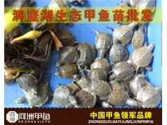 湖南汉寿优质生态甲鱼苗批发价格