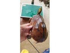 廣西 瑞東名龜出售海南金錢龜母一個1斤三兩 廠家瑞東名龜最專業