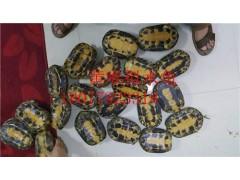 十大 瑞東名龜出售黃喉擬水龜種龜 品牌瑞東名龜性價比最高