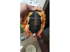 北海瑞东名龟 出售金钱龟公一条多少钱?瑞东名龟告诉你价格