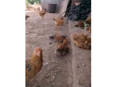 涼山產業_提供獻雞技術服務_提供線雞技術服務